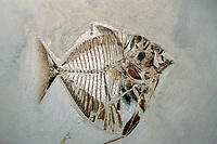 fossil moonfish, Mene rhombeus, early eocene, Italy