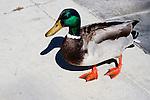 Mallard duck, Balboa Island, CA