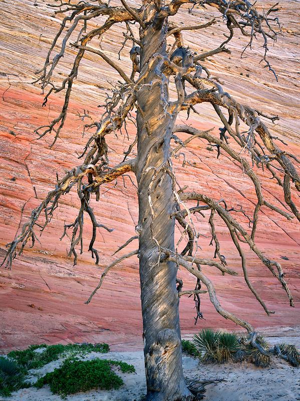 Dead ponderosa pine tree and Checkerboard Mesa. Zion National Park, Utah.