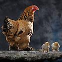 05/05/08 - LAMOTTE BEUVRON - LOIR ET CHER - FRANCE - Elevage avicole de Pascal BOVE. Poule Brahma fumee herminee noire - Photo Jerome CHABANNE