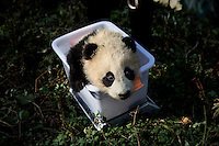 Researchers (not fully in shot), dressed in a panda costumes, give a medical check to a four month old, female wild panda at the Hetaoping Panda Conservation Centre. The researchers wear the panda costumes to prevent the captive born pandas from becoming accustomed to humans.