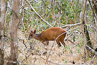 Red Duiker, Mkuze Game Reserve, SA