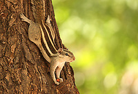 Stock image of cute squirrel climbing down tree bark holding nut.