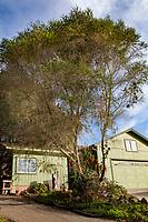 Melaleuca armillaris Bracelet Honey-myrtle, Australian  tree; Wild Ridge Organics