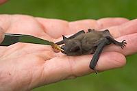 Zwergfledermaus, hilfsbedürftiges Tier wird auf der Hand mit einem Mehlwurm gefüttert, Zwerg-Fledermaus, Pipistrellus pipistrellus, Common pipistrelle, Pipistrelle commune