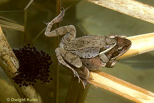 FR19-016a  Wood Frog - mating, female laying eggs - Lithobates sylvaticus, formerly Rana sylvatica