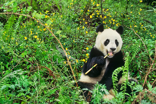 Giant Panda (Ailuropoda melanoleuca) Qionglai Mts., China, May.  Wolong Nature Reserve.  Eating bamboo.