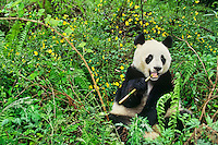 Giant Panda (Ailuropoda melanoleuca) Qionglai Mts., China, May.  Wolong Nature Reserve.  Eating bamboo.