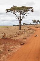 Tanzania. Tarangire National Park.  Lions Resting on Roadside.