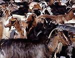 Griechenland, Kreta, Ziegenherde | Greece, Crete, flock of goats