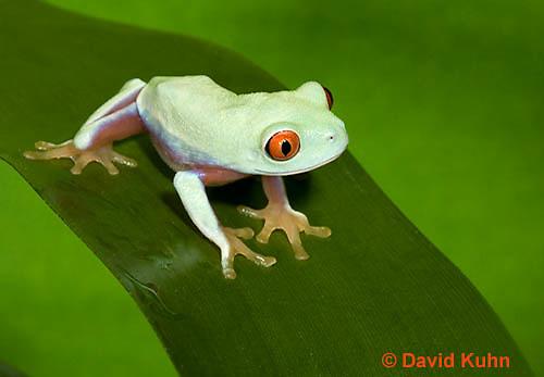 0306-0905  Red-eyed Tree Froglet (Young Frog), Agalychnis callidryas  © David Kuhn/Dwight Kuhn Photography.