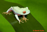 0306-0905  Red-eyed Tree Froglet (Young Frog), Agalychnis callidryas  © David Kuhn/Dwight Kuhn Photography.