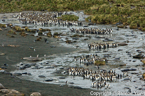 King Penguins and Elephant Seals share the beach at Gold Harbor, South Geogia Island, November 2007