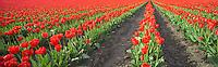 Field of red tulips, panorama. Near Mt. Vernon