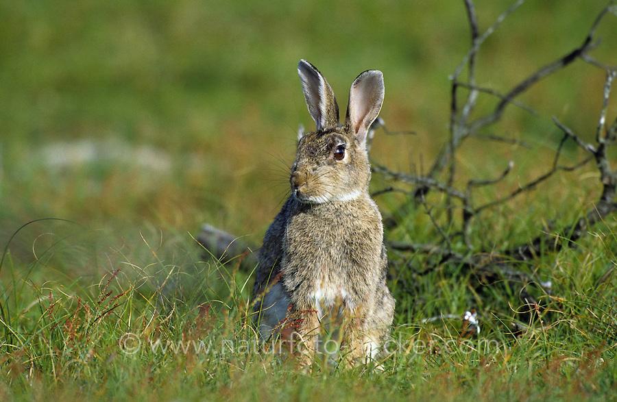 Europäisches Wildkaninchen, Wild-Kaninchen, Wildkanin, Kaninchen, Oryctolagus cuniculus, Old World rabbit