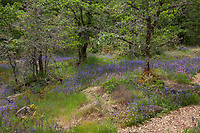 Wildflower meadow in the woods with Oaks (Quercus garryana var. garryana- Oregon White Oak), grasses, rocks, ferns and forbs - Camassia Nature Preserve, The Nature Conservancy protected park, Portland Oregonn