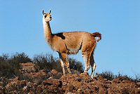 Guanacos (Lama guanicoe) is the second tallest New World camelid after the llama members of the Camelidae family -- and relatives of camels -- who are found both wild and domesticated in parts of South America.