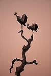 Grey Crowned Crane (Balearica regulorum) pair in courtship display in tree at sunrise, Kafue National Park, Zambia