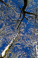 Snow covered trees and branches are highlighted by blue sky above while walking through the woods looking up through the canopy.