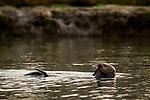 Sea Otter (Enhydra lutris) feeding, Elkhorn Slough, Monterey Bay, California