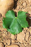 clairette leaf le cellier des princes chateauneuf du pape rhone france
