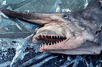 goblin shark, Mitsukurina owstoni, preserved specimen, captured off Japan