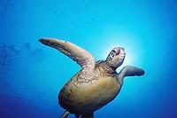 Green Sea Turlte (Chelonia mydas), underwater off the Kona Coast of Hawaii, USA.