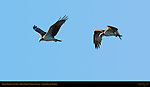Osprey Flight at Sunrise, Ding Darling Wildlife Refuge, Sanibel Island, Florida