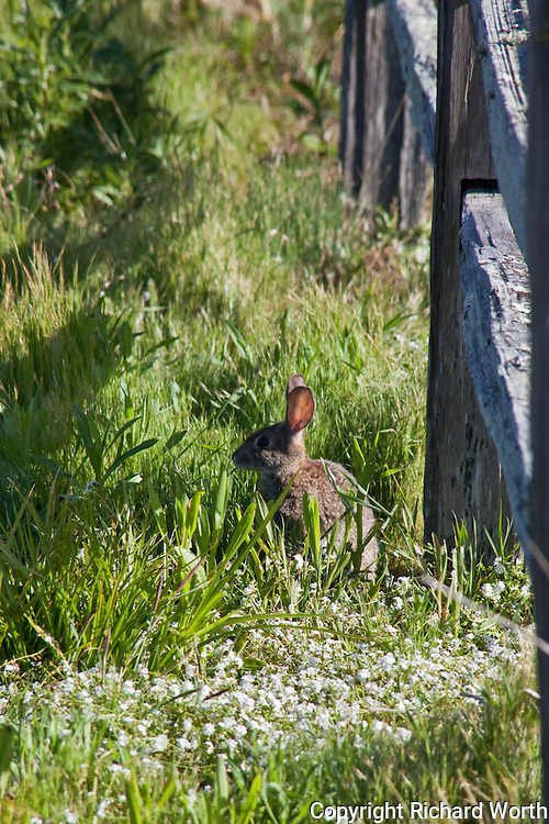 A rabbit soaks up the morning sun at Pomponio State Beach, California.