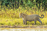 an adult male jaguar, Panthera onca, on the riverbank of the Rio Picuiri, Mato Grosso, Brazil, South America
