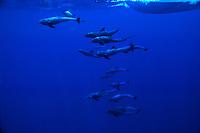Melon Headed whale, Peponocephala electra, Pacific Ocean, USA, Hawaii, Melon Headed whale, Peponocephala electra,