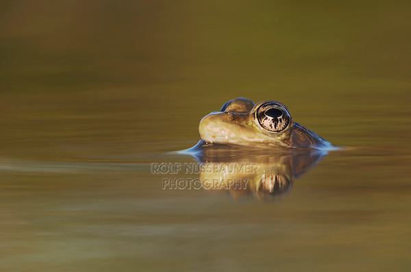 Rio Grande Leopard Frog, Rana berlandieri, adult in water with reflection, Uvalde County, Hill Country, Texas, USA, April 2006