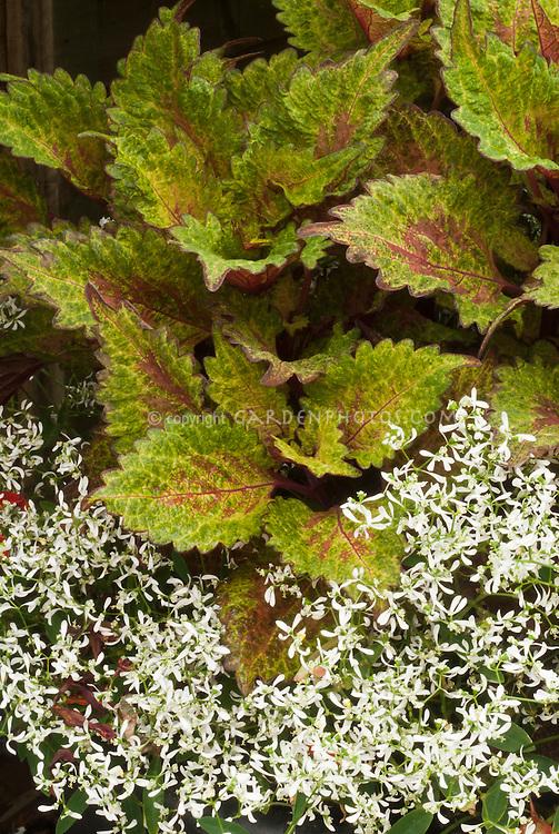 Coleus (Solenostemon) Coleus (Solenostemon) + Euphorbia 'Gloria' annuals plant combination