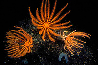 deep sea, Brisingid sea star ( Novodinia antillensis ) are lit up by submarine lights in the deep sea off of Roatan, Honduras, Caribbean, Atlantic