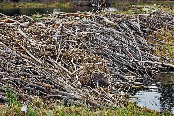 North American Beaver (Castor canadensis)  working on large dam.  Western U.S., spring.