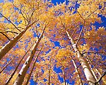 Looking up at a canopy of autumn aspen trees along Last Dollar Road in Colorado