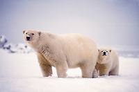 polar bear, Ursus maritimus, mother with cub on the pack ice of the frozen coastal plain, 1002 area of the Arctic National Wildlife Refuge, Alaska, polar bear, Ursus maritimus