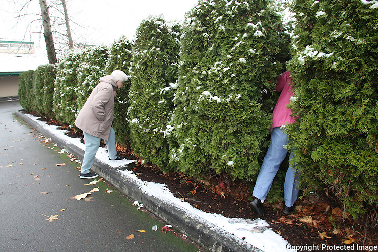 """Marion Catto and C. H. Lindberg peek through the bushes of their driveway to check on their neighbor's dog which is continuously tethered no matter what the weather conditions are in Enumclaw, Wash. on December 13, 2008. Says C. H. when """"he's unhappy or he's wet or whatever it is, he starts to bark and whine and he moans and groans and she (Marion) cries and I cry.  We're so upset.  He can't sleep."""" (Karen Ducey/Seattle Post-Intelligencer)"""