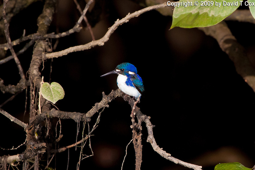 Little KIngfisher, Daintree River, Queensland, Australia