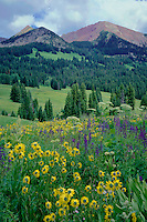 Little sunflower and cow-parsnip<br /> Avery Peak,  Gunnison National Forest<br /> Elk Mountains<br /> Rocky Mountains, Colorado