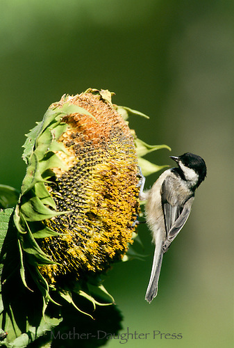 Black capped chickadee,  Poecile atricapillus, on the head of a sunflower eating seeds