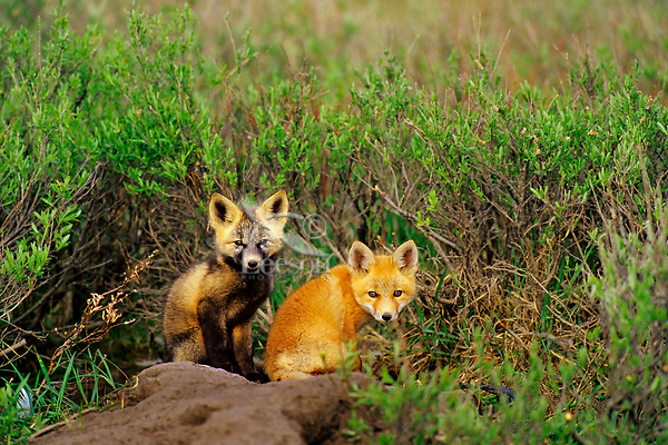 Two RED FOX (Vulpes vulpes) pups near densite in Alaska arctic.  June.  Pup on the left has the coloration and markings of what is called a cross fox.
