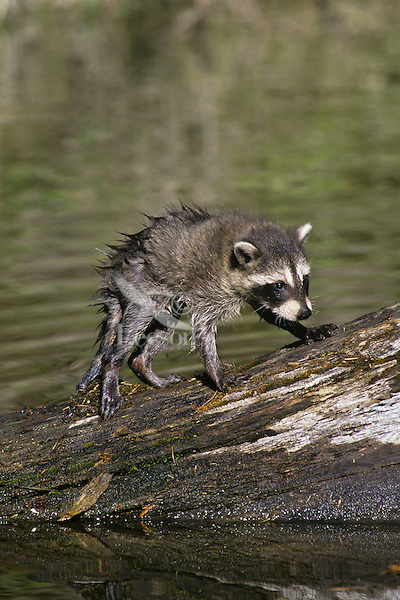 Young Raccoon (Procyon lotor) cub waiting for mom as she hunts along edge of pond.  Western U.S.