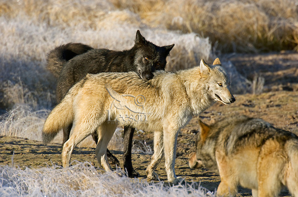 Wild GRAY WOLF (Canis lupus) behavior.  Greater Yellowstone Ecological Area.  Fall.