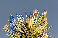 House Finch (Carpodacus mexicanus) in a Joshua Tree, Mojave Desert, California
