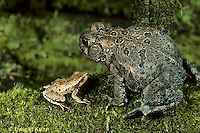 FR11-006x  American Toad and Spring peeper frog.