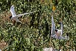 Endangered Roseate terns flying over tern colony, 2 shot.