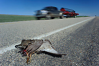 A Greater Prairie-Chicken lies dead on a roadside in central South Dakota. Roads, fences and transmission lines are frequent causes of mortality.
