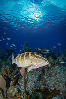 Nassau grouper, Epinephelus striatus, Bloody Bay Wall, Little Cayman, Cayman Islands, Caribbean Sea, Atlantic Ocean