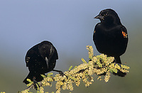 Red-winged Blackbird, Agelaius phoeniceus,males on blooming blackbrush, Welder Wildlife Refuge, Sinton, Texas, USA
